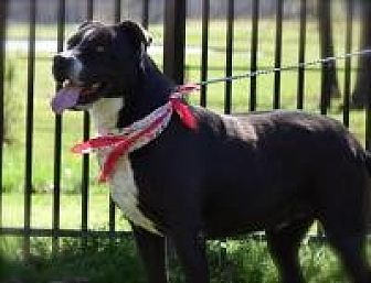 Staffordshire Bull Terrier Mix Dog for adoption in Princeton, Kentucky - Chaney