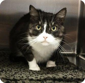 Maine Coon Cat for adoption in Phoenix, Arizona - Lefty