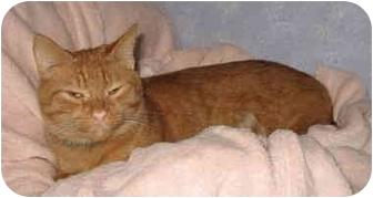 Domestic Shorthair Cat for adoption in Cincinnati, Ohio - Louie