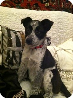 Border Collie/Australian Cattle Dog Mix Puppy for adoption in Avon, Ohio - Holly