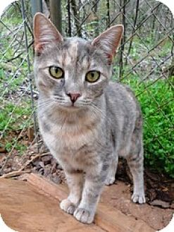 Domestic Shorthair Cat for adoption in Stuart, Virginia - June Bug