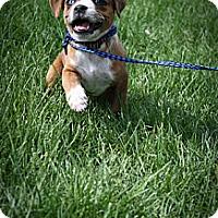 Adopt A Pet :: Peony - Broomfield, CO