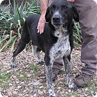 Labrador Retriever Mix Dog for adoption in Springfield, Virginia - Ozarks