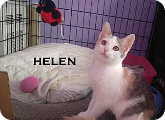 Domestic Shorthair Kitten for adoption in Speedway, Indiana - Helen