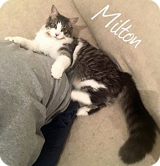 Maine Coon Cat for adoption in Troy, Michigan - Milton