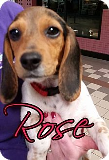 Beagle Mix Puppy for adoption in Owensboro, Kentucky - Rose