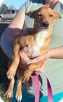 Chihuahua Mix Puppy for adoption in Chicopee, Massachusetts - Wallie