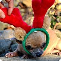 Adopt A Pet :: Corazon - Pittsburgh, PA