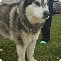 Adopt A Pet :: Cleo - Mt Prospect, IL