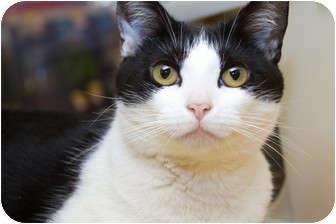 Domestic Shorthair Cat for adoption in Irvine, California - Glassel