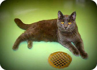 Russian Blue Cat for adoption in Gadsden, Alabama - Huggie Bear