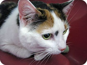 Domestic Shorthair Cat for adoption in Freehold, New Jersey - Amber