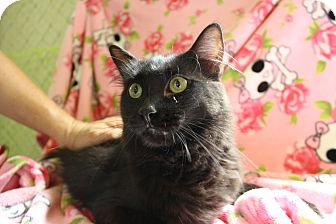 Domestic Longhair Cat for adoption in Fountain Hills, Arizona - PABLO
