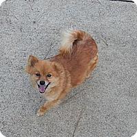 Adopt A Pet :: Pom Pom - Adamsville, TN