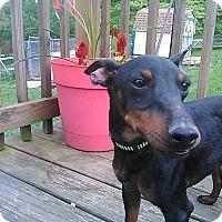Adopt A Pet :: Fizz - Cumberland, MD