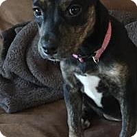 Adopt A Pet :: Shanna - Marlton, NJ