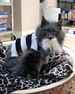 Domestic Longhair Cat for adoption in Paris, Maine - TJ