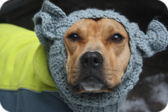 American Staffordshire Terrier/American Pit Bull Terrier Mix Dog for adoption in NEW YORK, New York - Franny Bean