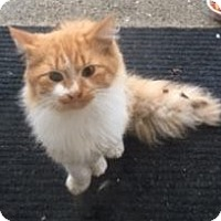 Domestic Longhair Cat for adoption in Livonia, Michigan - Tony