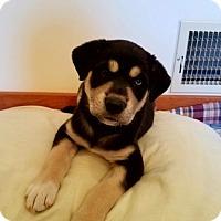 Adopt A Pet :: Carolina - GREENLAWN, NY