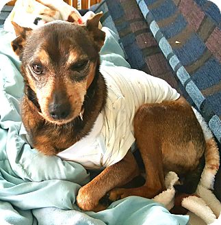 Chihuahua/Beagle Mix Dog for adoption in Andalusia, Pennsylvania - Bobo