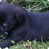 Adopt A Pet :: Kisha - Kansas City, MO