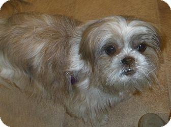 Shih Tzu Mix Dog for adoption in Toronto, Ontario - Zoey