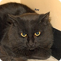 Adopt A Pet :: Ray /Raven - McDonough, GA