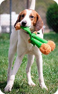 Hound (Unknown Type) Mix Dog for adoption in Spring City, Pennsylvania - Dale