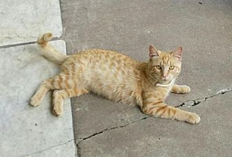 Domestic Shorthair Cat for adoption in Harrisburg, Pennsylvania - Tina (female) Courtesy posting
