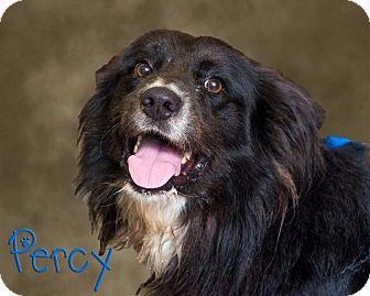 Labrador Retriever/Chow Chow Mix Dog for adoption in Somerset, Pennsylvania - Percy