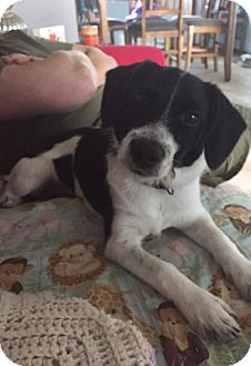 Jack Russell Terrier/Terrier (Unknown Type, Small) Mix Dog for adoption in Frankfort, Illinois - Eddard