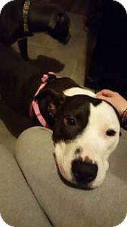Pit Bull Terrier Mix Dog for adoption in Broken Arrow, Oklahoma - Roxxy