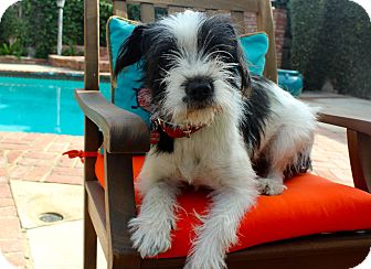 Terrier (Unknown Type, Medium) Mix Dog for adoption in Los Angeles, California - Lucy Rose