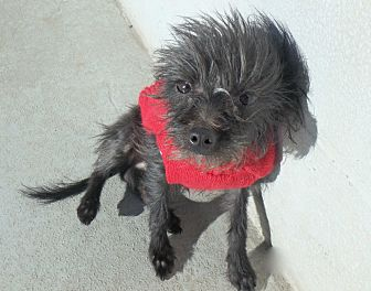 Yorkie, Yorkshire Terrier/Chihuahua Mix Dog for adoption in Seguin, Texas - Frazzle