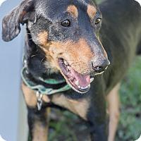 Adopt A Pet :: Sylvester - Houston, TX