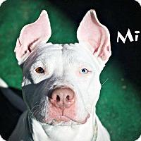 Adopt A Pet :: Miso - Milwaukee, WI