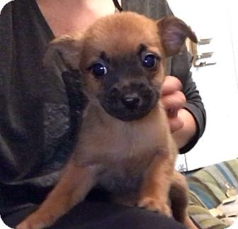 Terrier (Unknown Type, Small)/Jack Russell Terrier Mix Puppy for adoption in New York, New York - Jenny