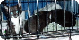 Domestic Shorthair Kitten for adoption in Westfield, Massachusetts - Smokey and kitens