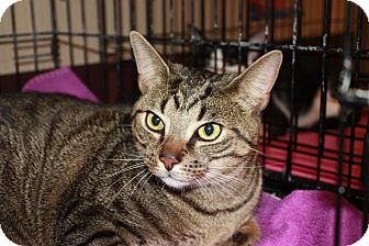Domestic Shorthair Cat for adoption in Little Falls, New Jersey - Jaguar (LE)