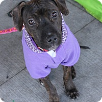 Adopt A Pet :: Tazlyn - Chicago, IL