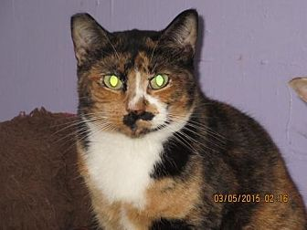 Calico Cat for adoption in Coos Bay, Oregon - Biscotti