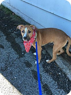 American Pit Bull Terrier Mix Puppy for adoption in Huntsville, Tennessee - Buddy