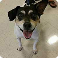 Jack Russell Terrier Mix Dog for adoption in Tuskegee, Alabama - Big Boy