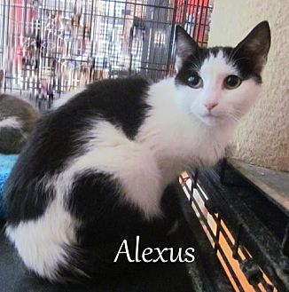 Domestic Shorthair Cat for adoption in Culpeper, Virginia - Alexus