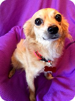 Tibetan Spaniel/Chihuahua Mix Dog for adoption in Los Angeles, California - Taffy