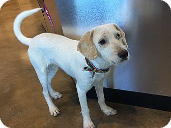 Labrador Retriever/Australian Shepherd Mix Puppy for adoption in Vancouver, British Columbia - Layla