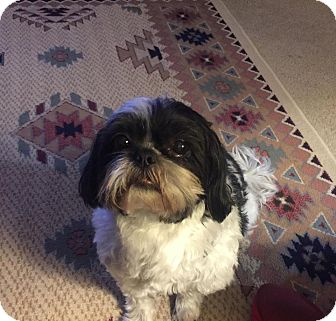 Shih Tzu Mix Dog for adoption in Rochester, Minnesota - Mercy