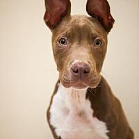Adopt A Pet :: Cayden - Villa Park, IL