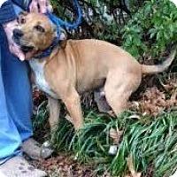 Adopt A Pet :: Socks - Memphis, TN